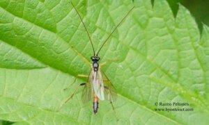 Ctenopelmatinae sp. 3