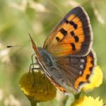 LEPIDOPTERA-perhoset