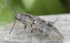 Actenicerus sjaelandicus 1