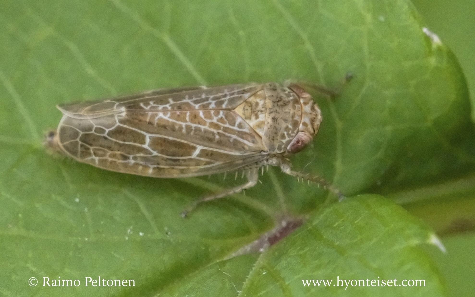 Allygidius commutatus
