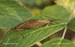 Anabolia laevis 2