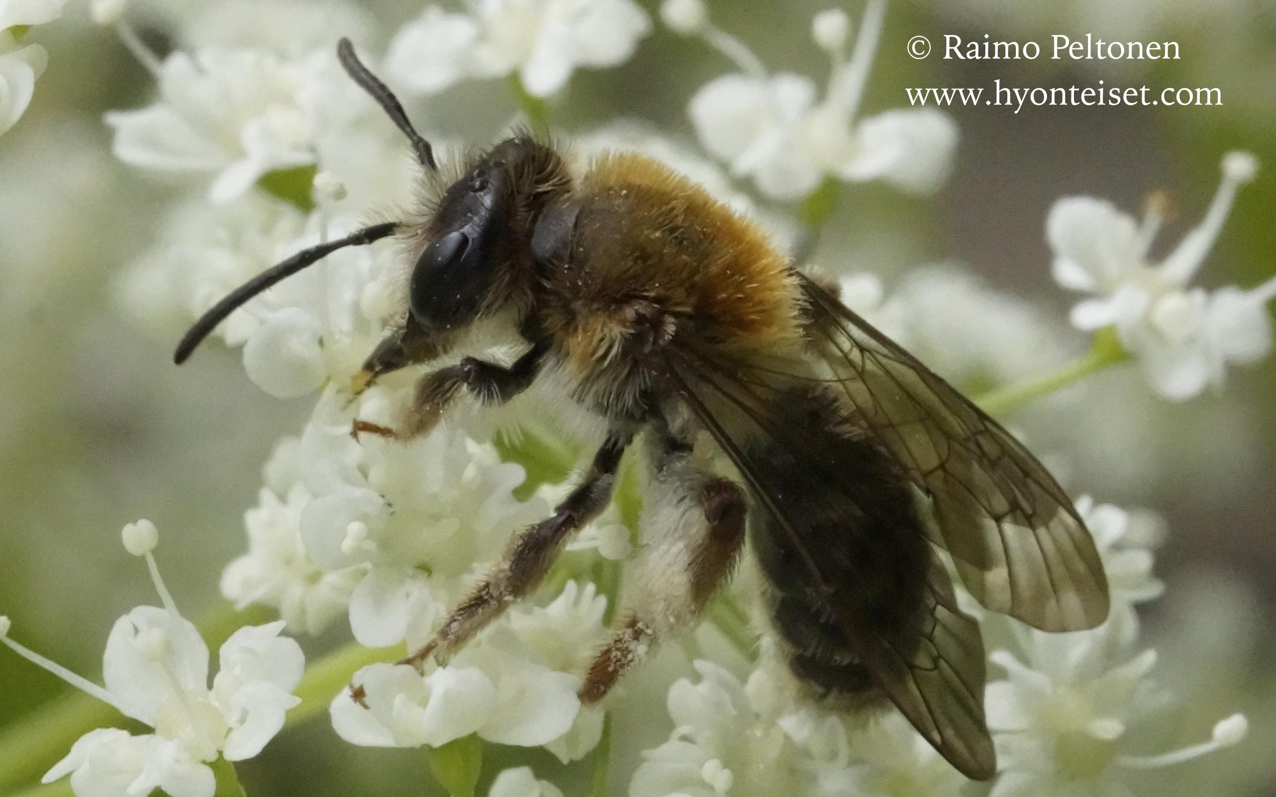 Andrena cf. fucata-punamaamehiläinen (det. Juho Paukkunen)