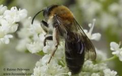 Andrena cf. fucata 1