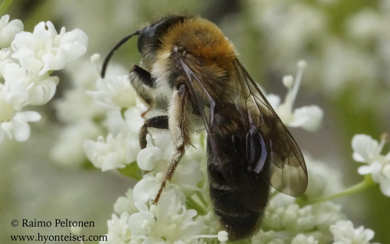 Andrena cf. fugata-punamaamehiläinen (det. Juho Paukkunen)