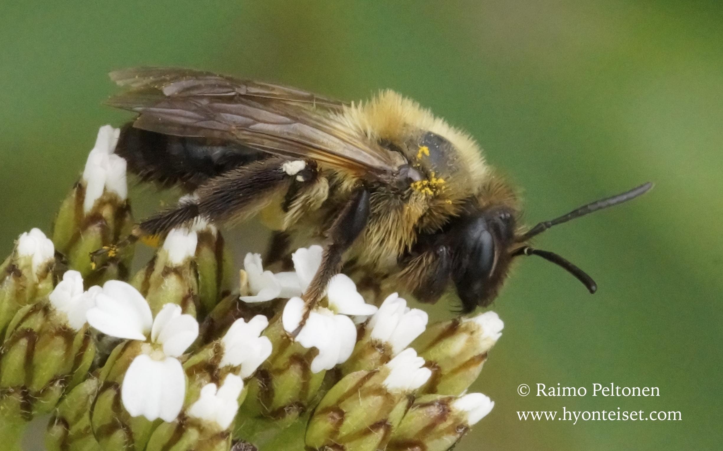 Andrena cf. lapponica, naaras (det. Juho Paukkunen)