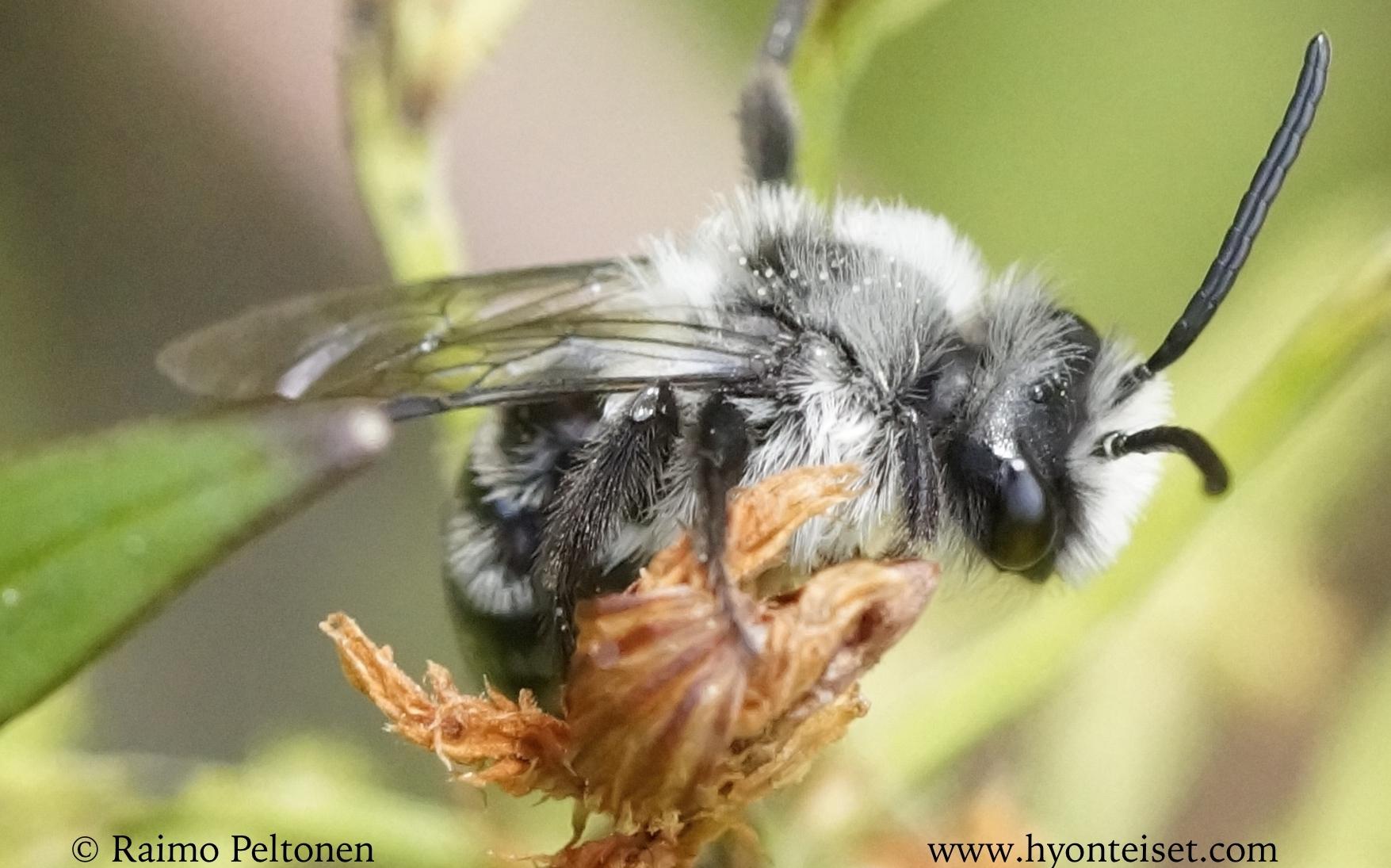 Andrena cineraria-hohtomaamehiläinen, koiras (det. Juho Paukkunen)
