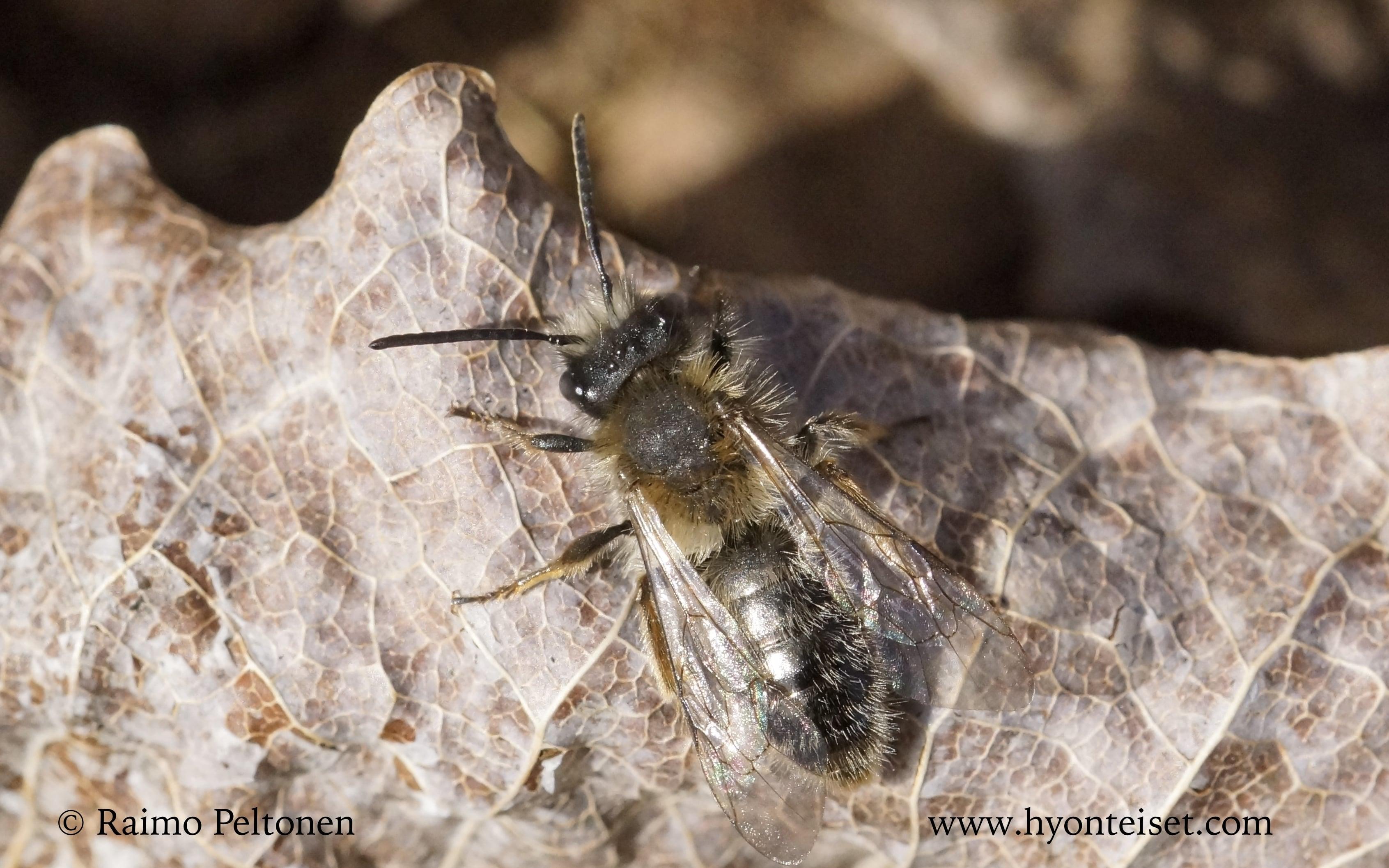 Andrena clarkella-raitamaamehiläinen (det. Juho Paukkunen)