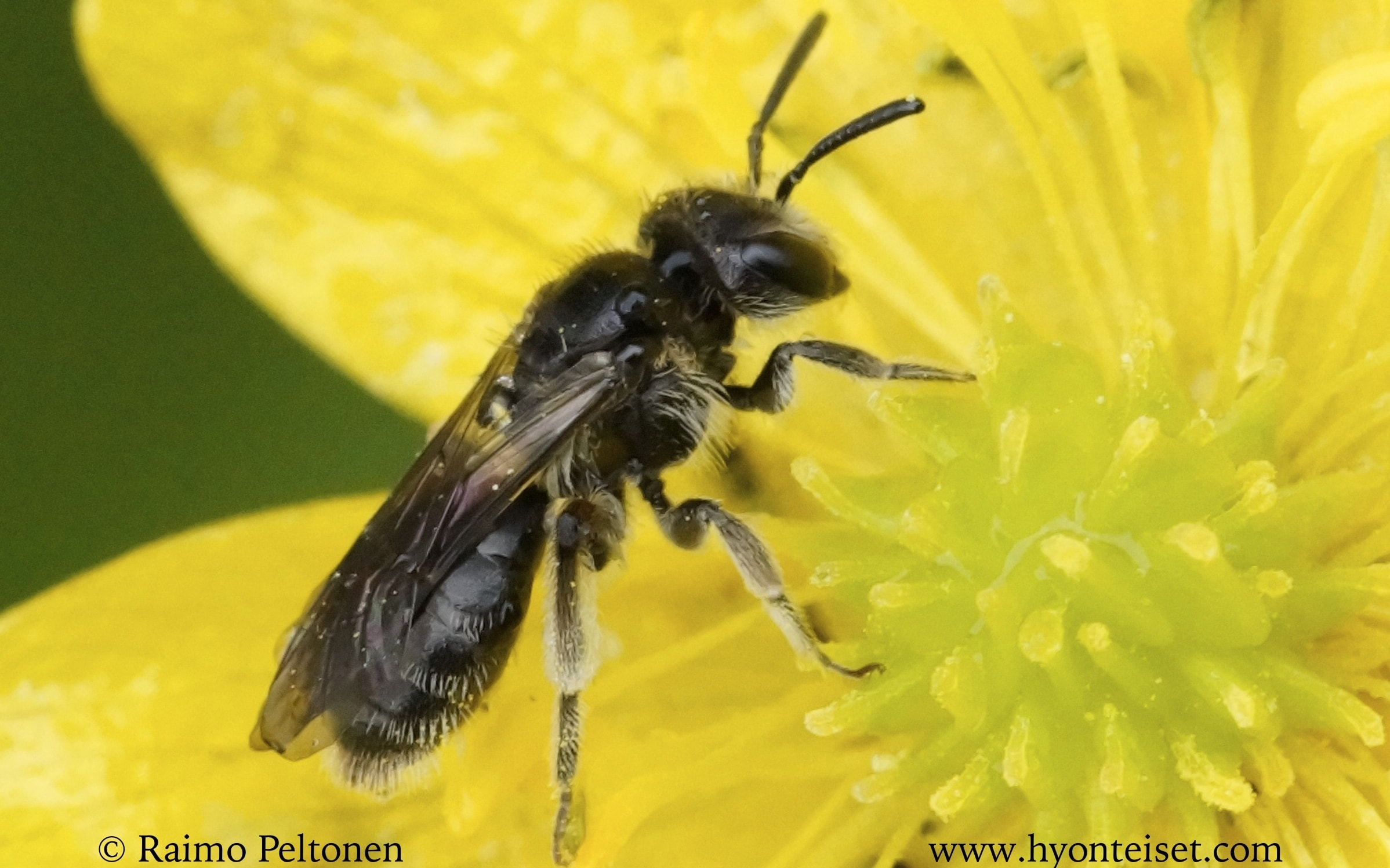 Andrena minituloides-juhannusmaamehiläinen (det. Juho Paukkunen)