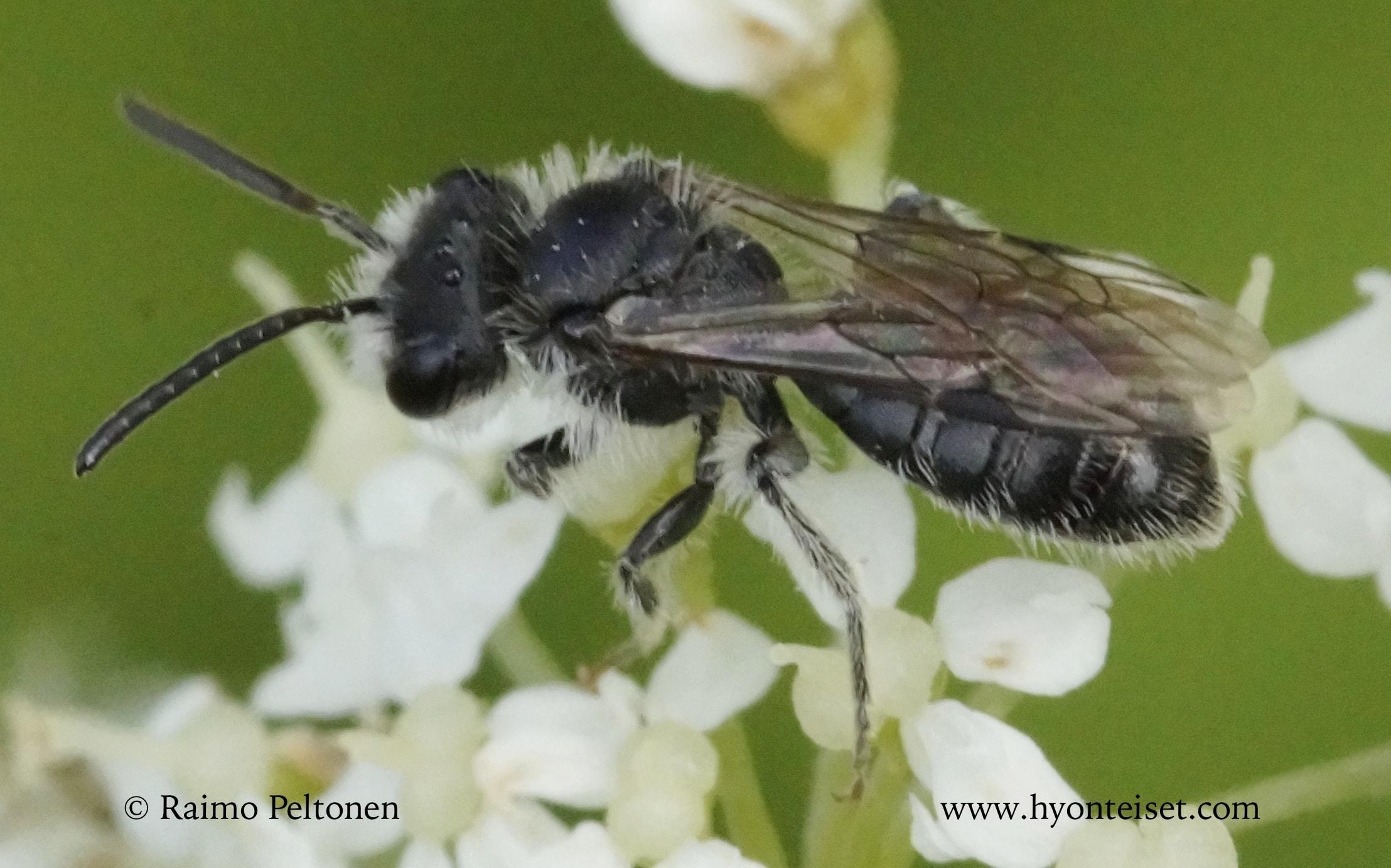 Andrena semilaevis-metsämaamehiläinen (det. Juho Paukkunen)