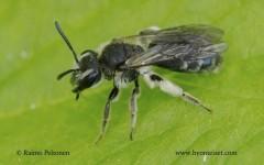 Andrena subopaca