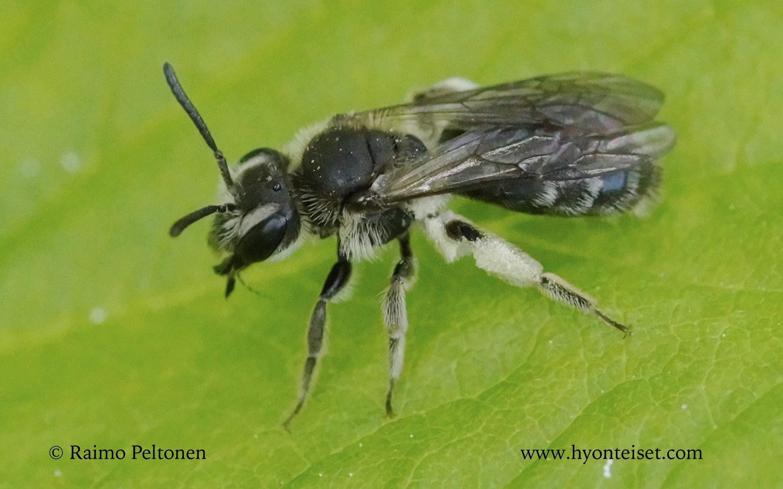 Andrena subopaca-piennarmaamehiläinen (det. JuhoPaukkunen)