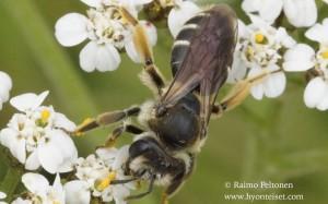 Andrena wilkella