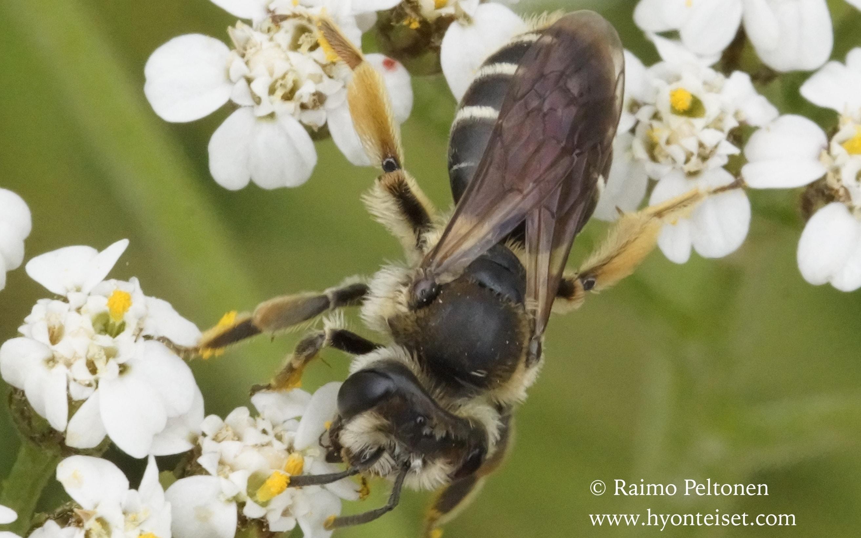 Andrena wilkella-niittymaamehiläinen, naaras (det. Juho Paukkunen)