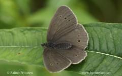 Aphantopus hyperanthus 1