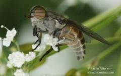 Hybomitra bimaculata 2