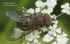 Hybomitra bimaculata 1