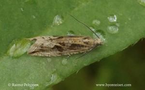 Bactra cf. lancealana