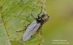 Bibio cf. longipes