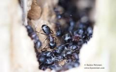 Camponotus herculeanus 2