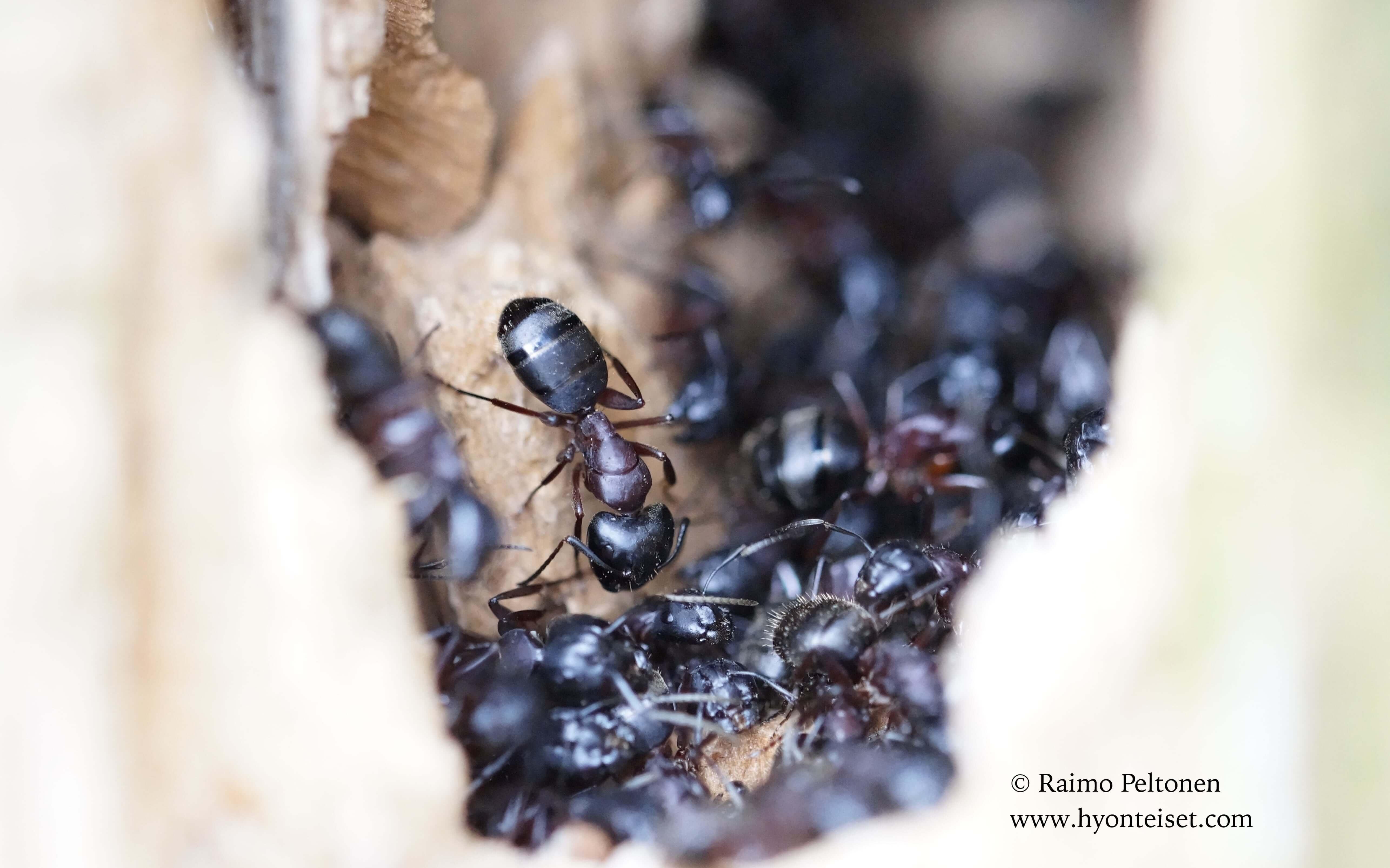 Camponotus herculeanus-aitohevosmuurahainen