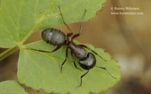 Camponotus herculeanus 1