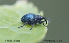 Ceutorhynchus cf. erysini