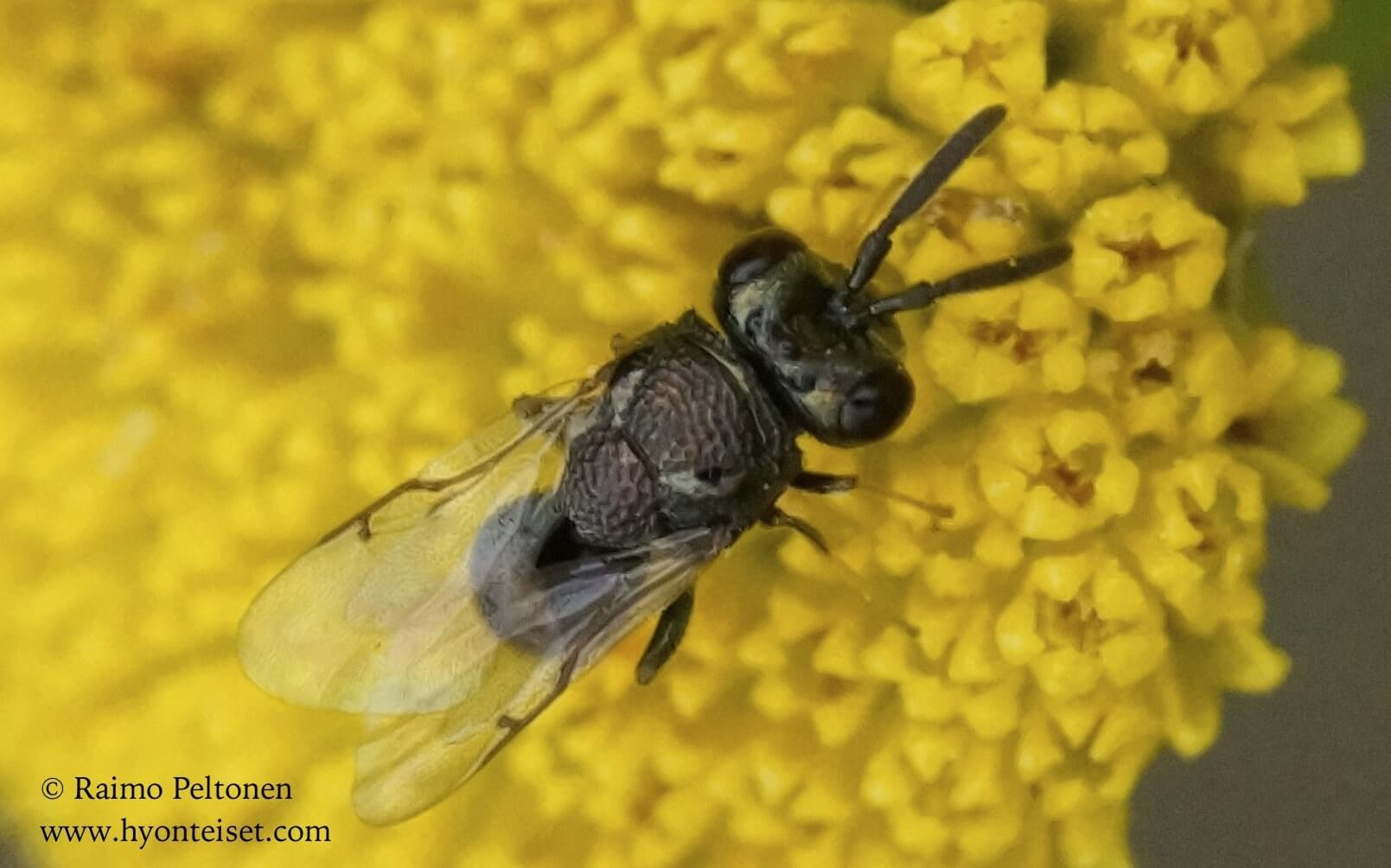 Chalcidoidae sp. (det. Juho Paukkunen)