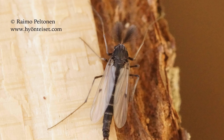 Chironimidae sp.
