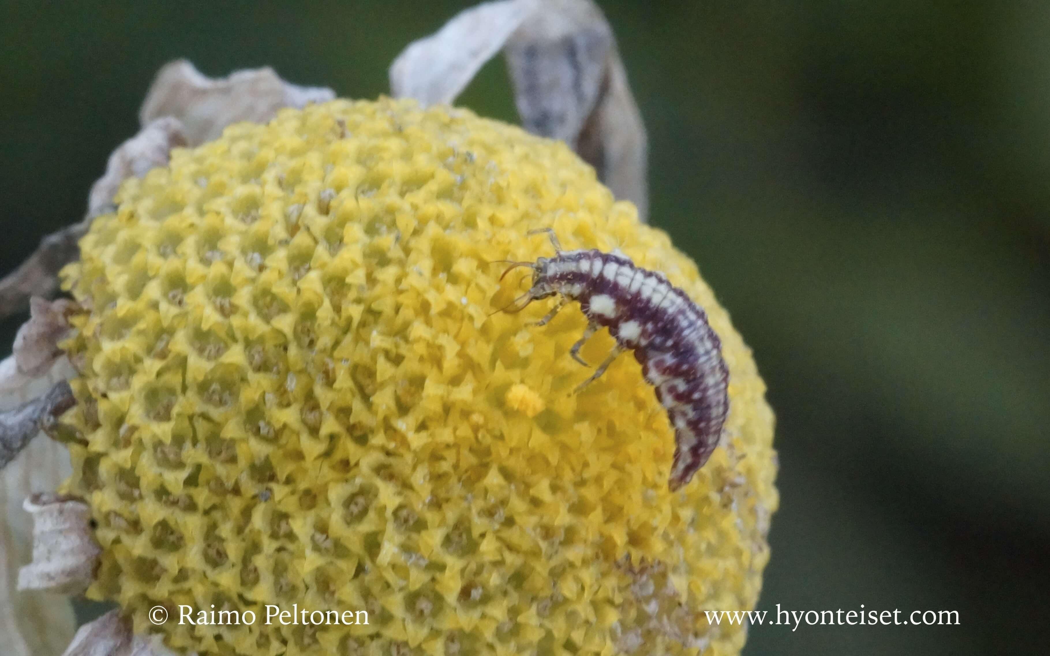Chrysopa perla-rengasharsokorento, toukka
