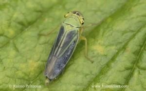 Cicadella viridis 2