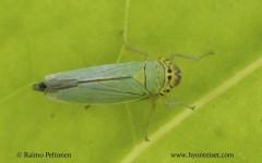 Cicadella viridis 1