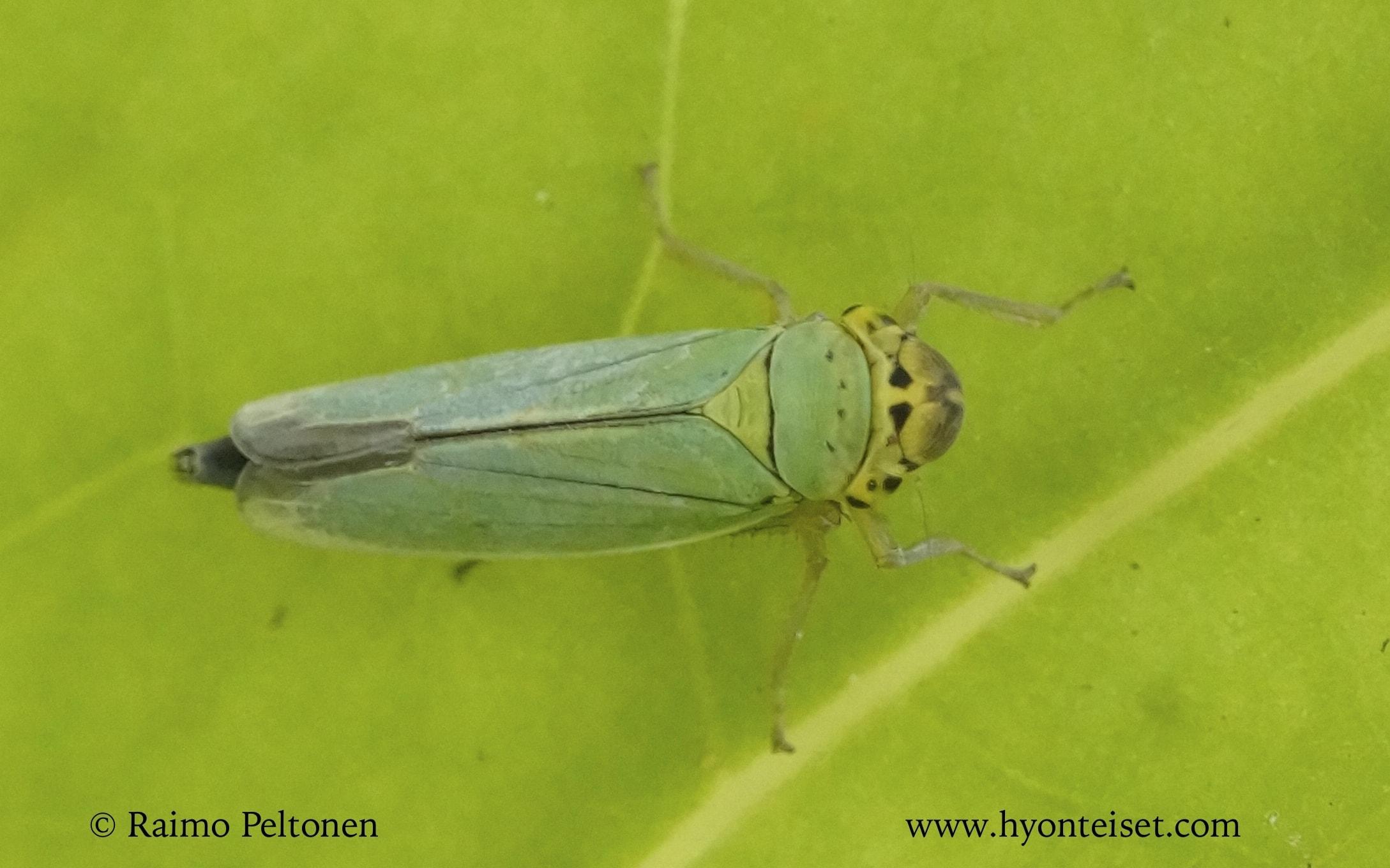 Cicadella viridis-viherkaskas