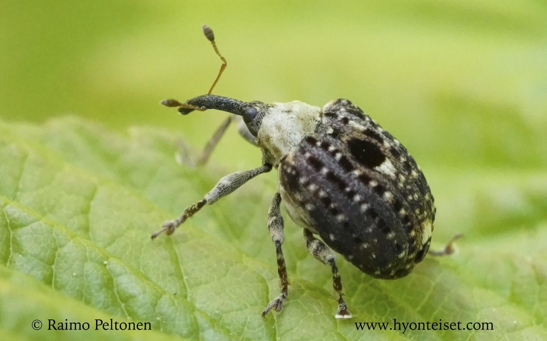 Cionus scrophulariae-syyläkyrmykärsäkäs