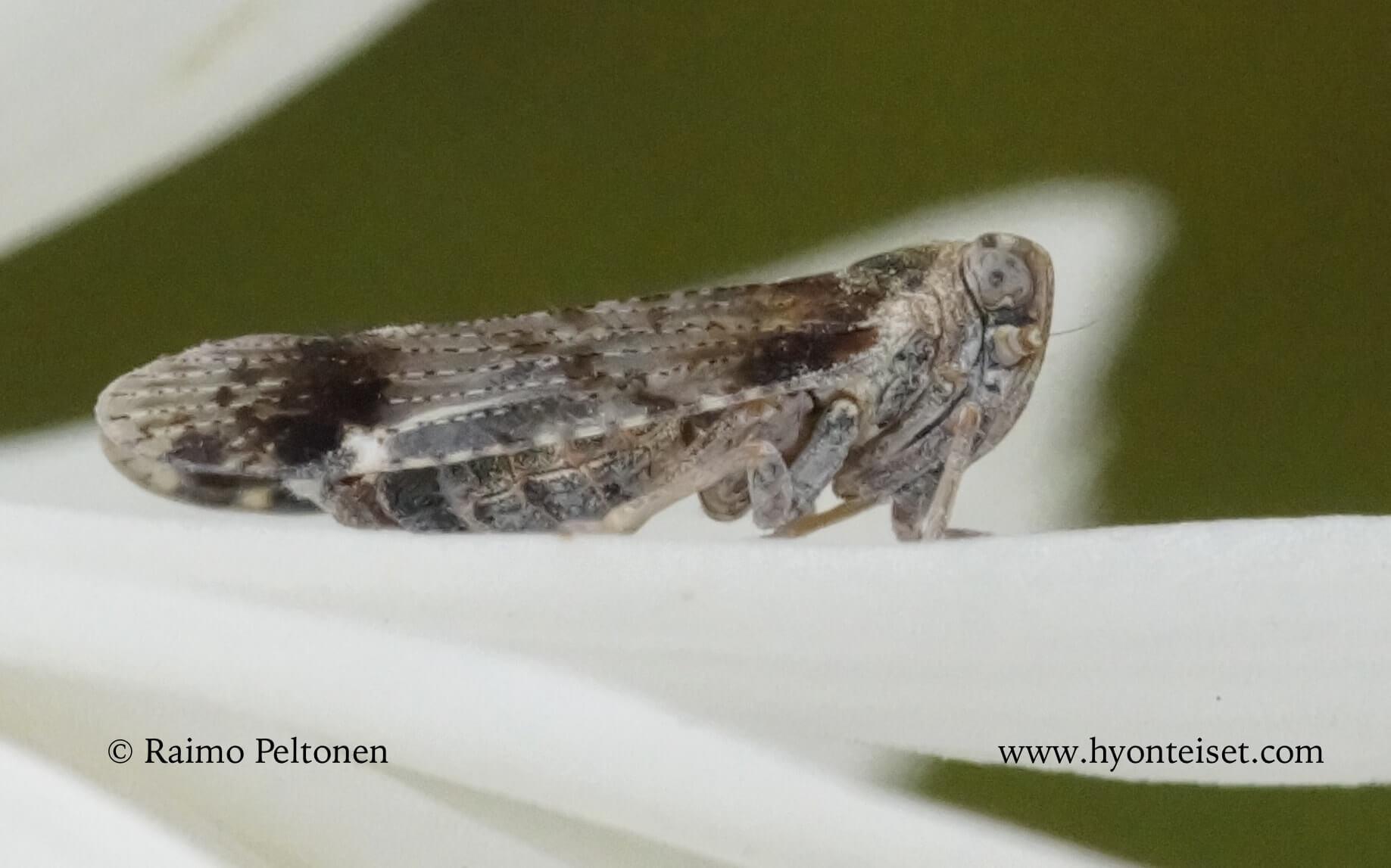 Cixius cunicularius