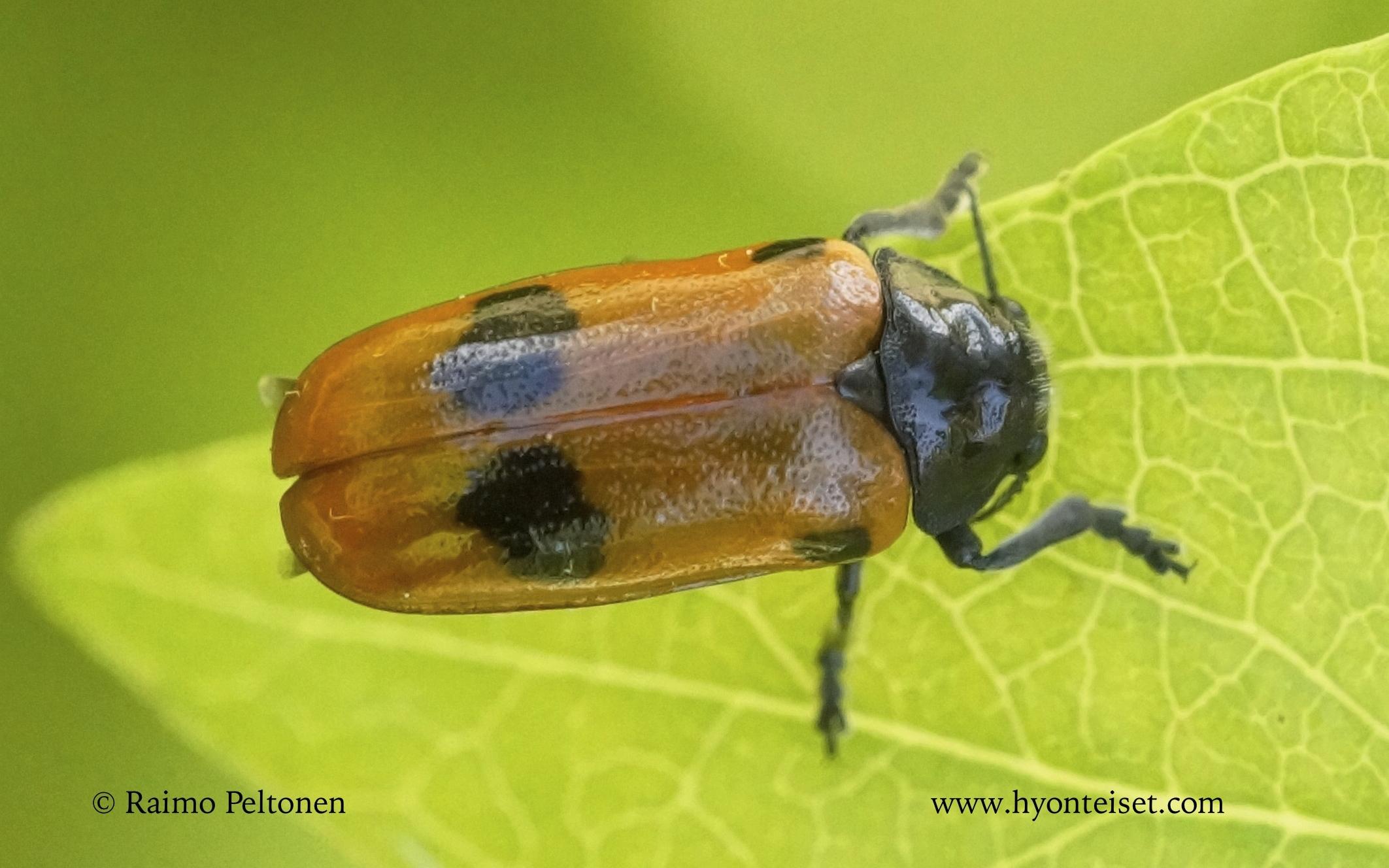 Clytra quadripunctata-muurahaispääkkö