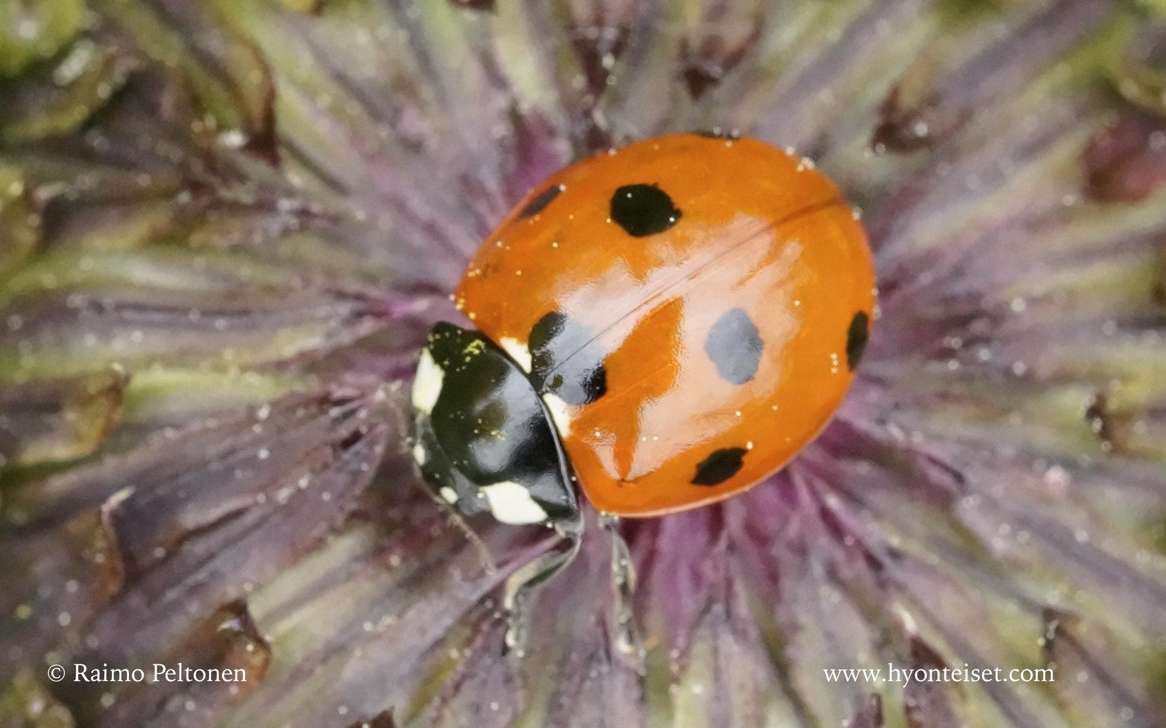 Coccinella septempunctata-seitsenpistepirkko