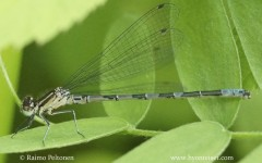 Coenagrion hastulatum 2