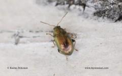 Crepidodera fulvicornis 1
