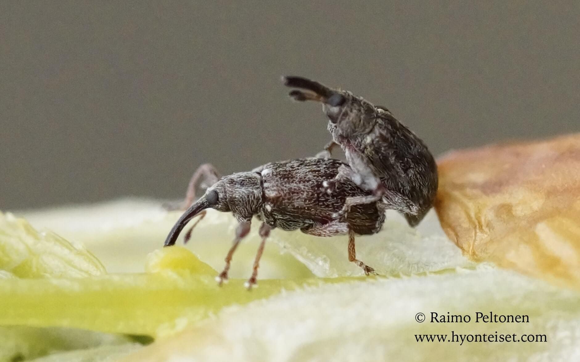 Anthonomus humeralis-tuomenkukkakkärsäkäs