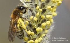 Andrena praecox 4