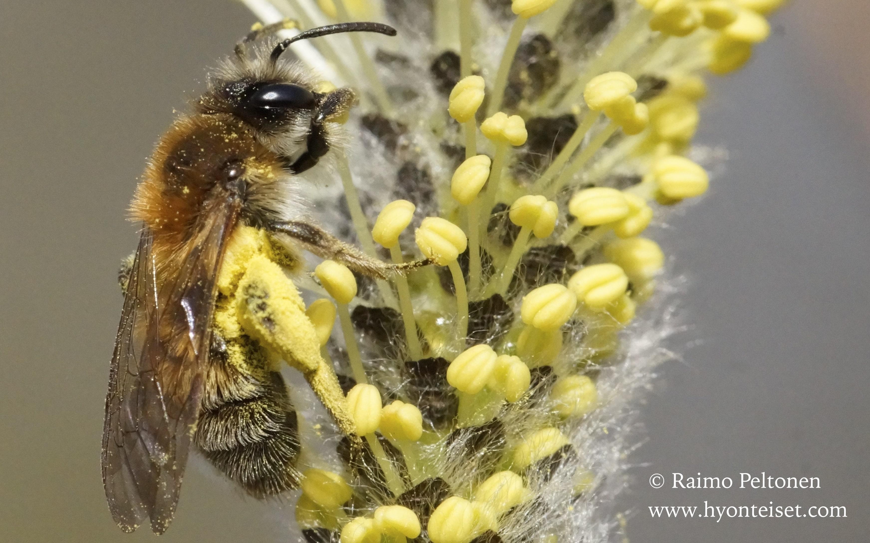 Andrena praecox-hammasmaamehiläinen, naaras (det. Juho Paukkunen)