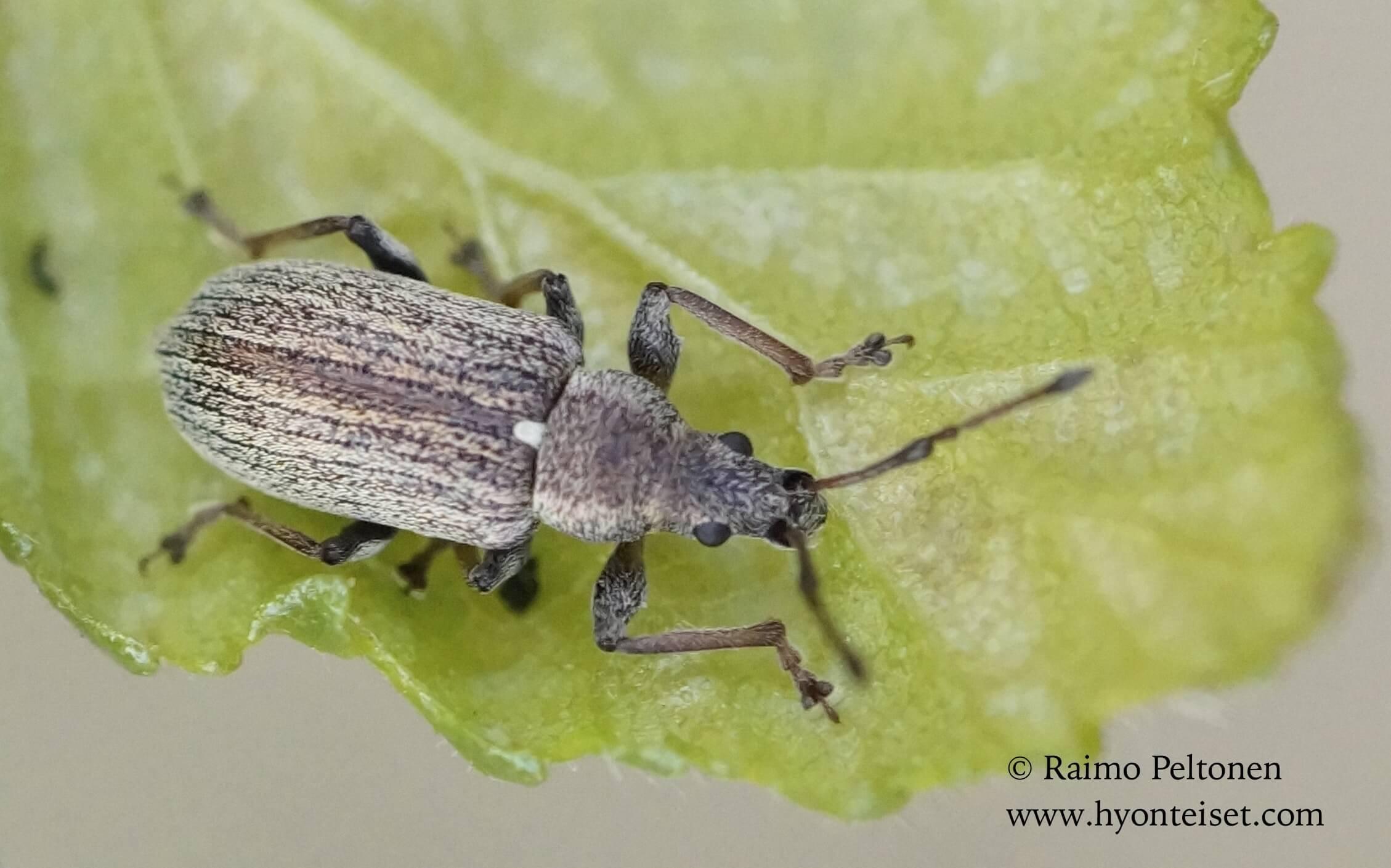 Phyllobius pyri-omenalehtikärsäkäs (det. Tapio Kujala)