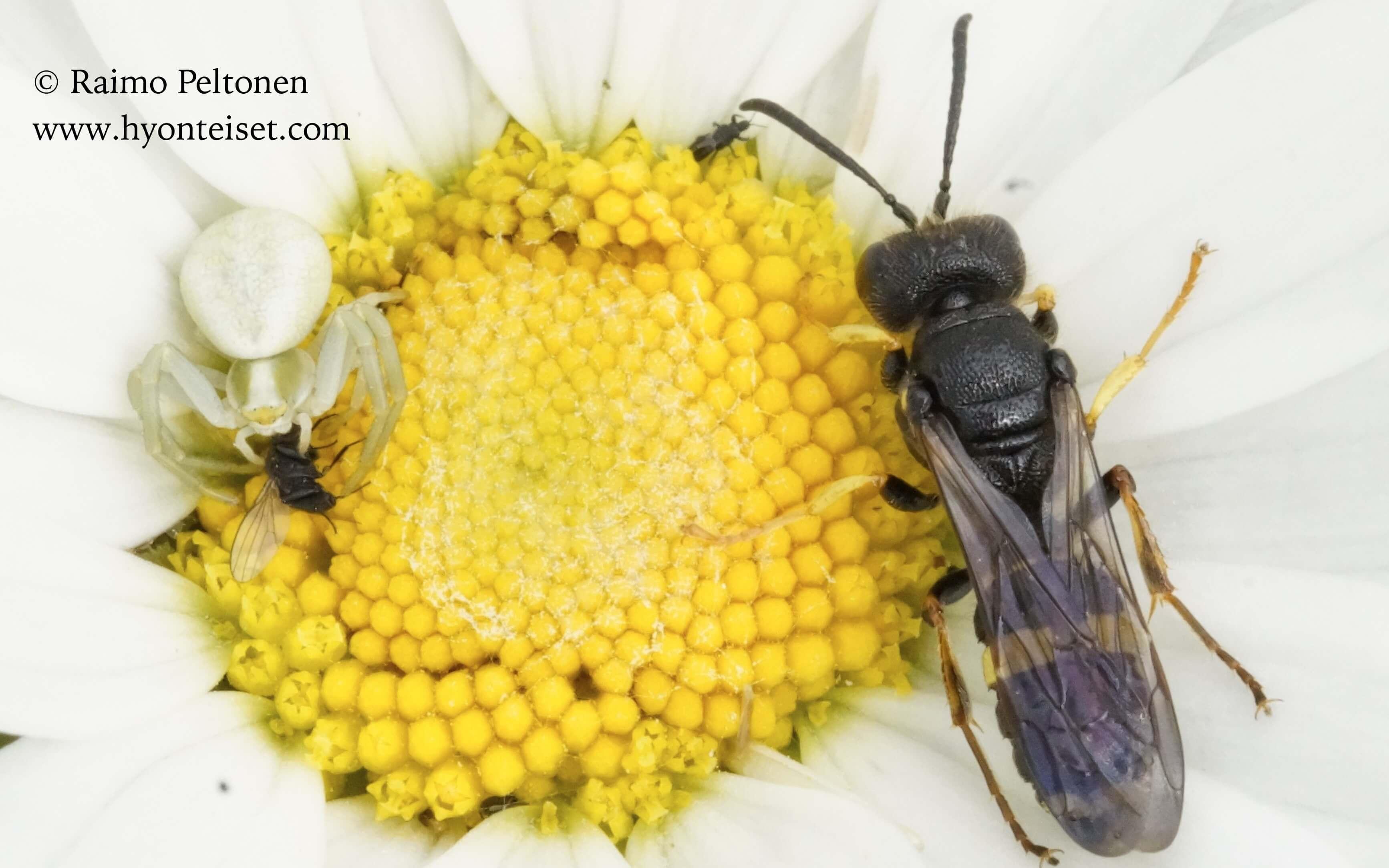 Cerceris rybyensis-mesirengashukka (det. Juho Paukkunen)