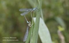 Coenagrion pulchellum 2