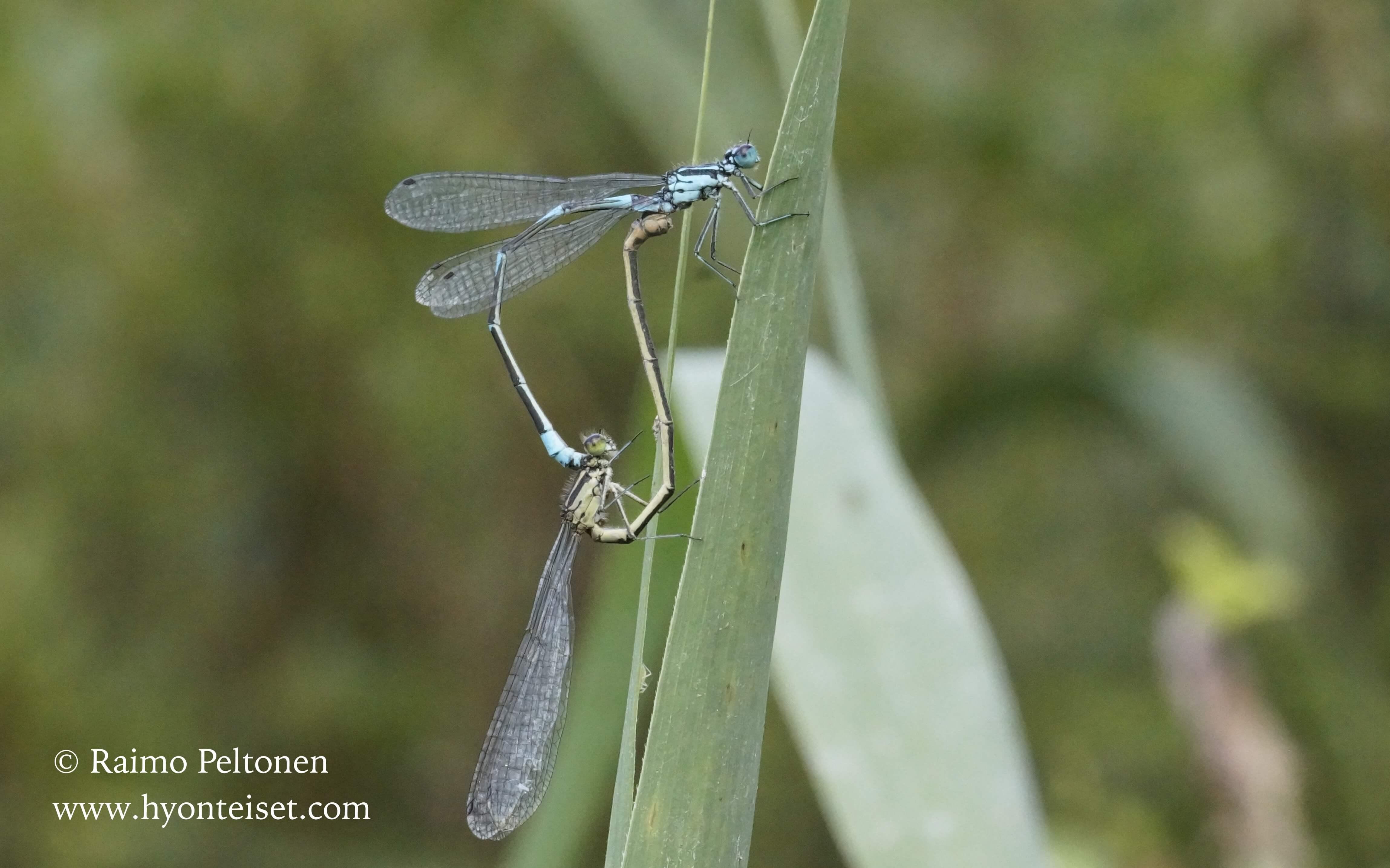Coenagrion pulchellum-sirotytönkorento