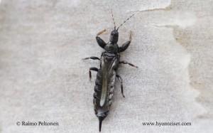 Acanthothrips nodicornis