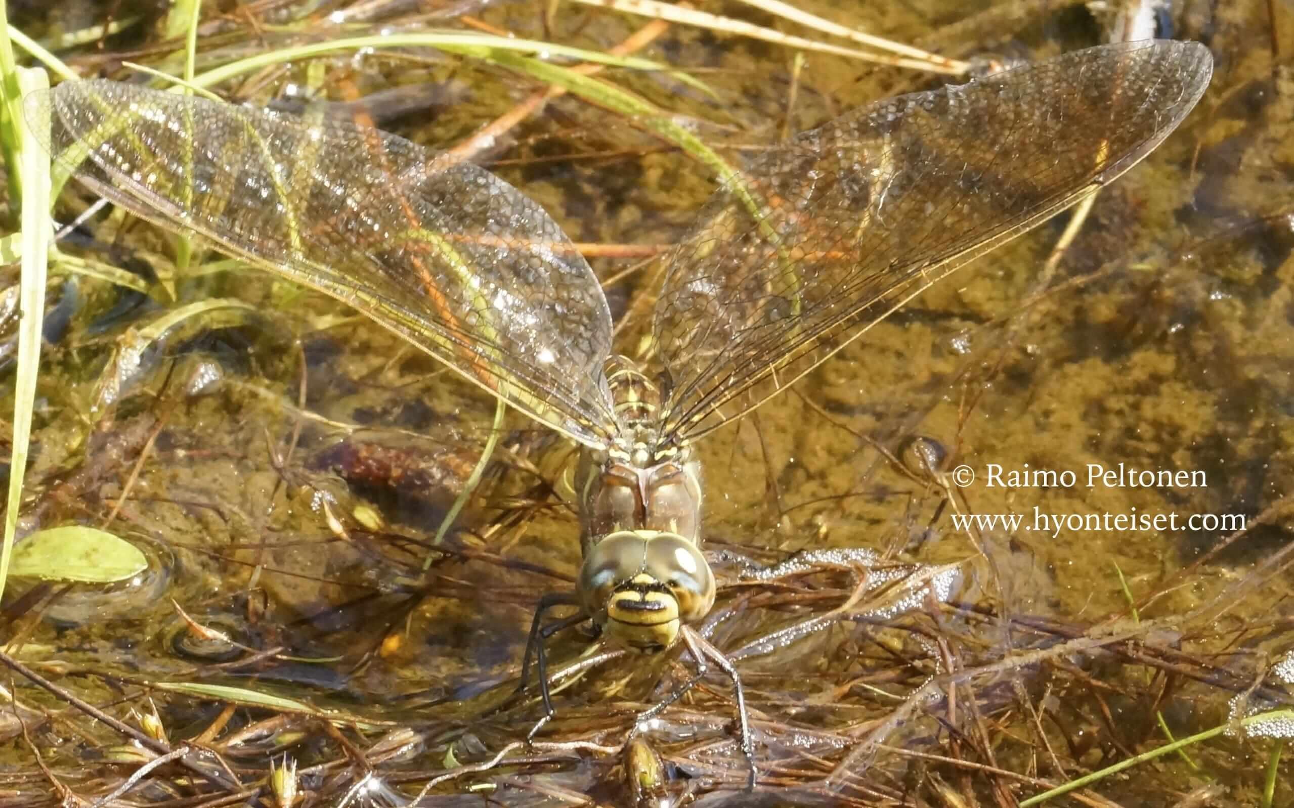 Aeshna juncea-siniukonkorento, naaras (det. Sami Karjalainen)