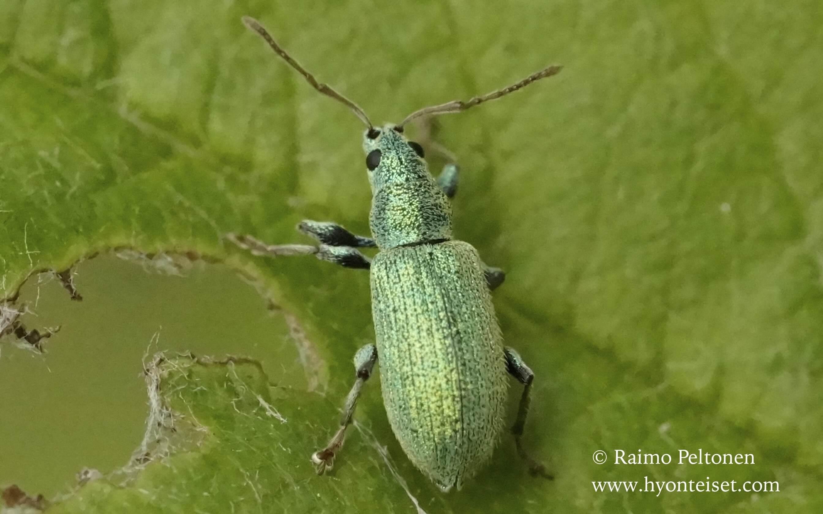 Phyllobius argentatus-viherlehtikärsäkäs