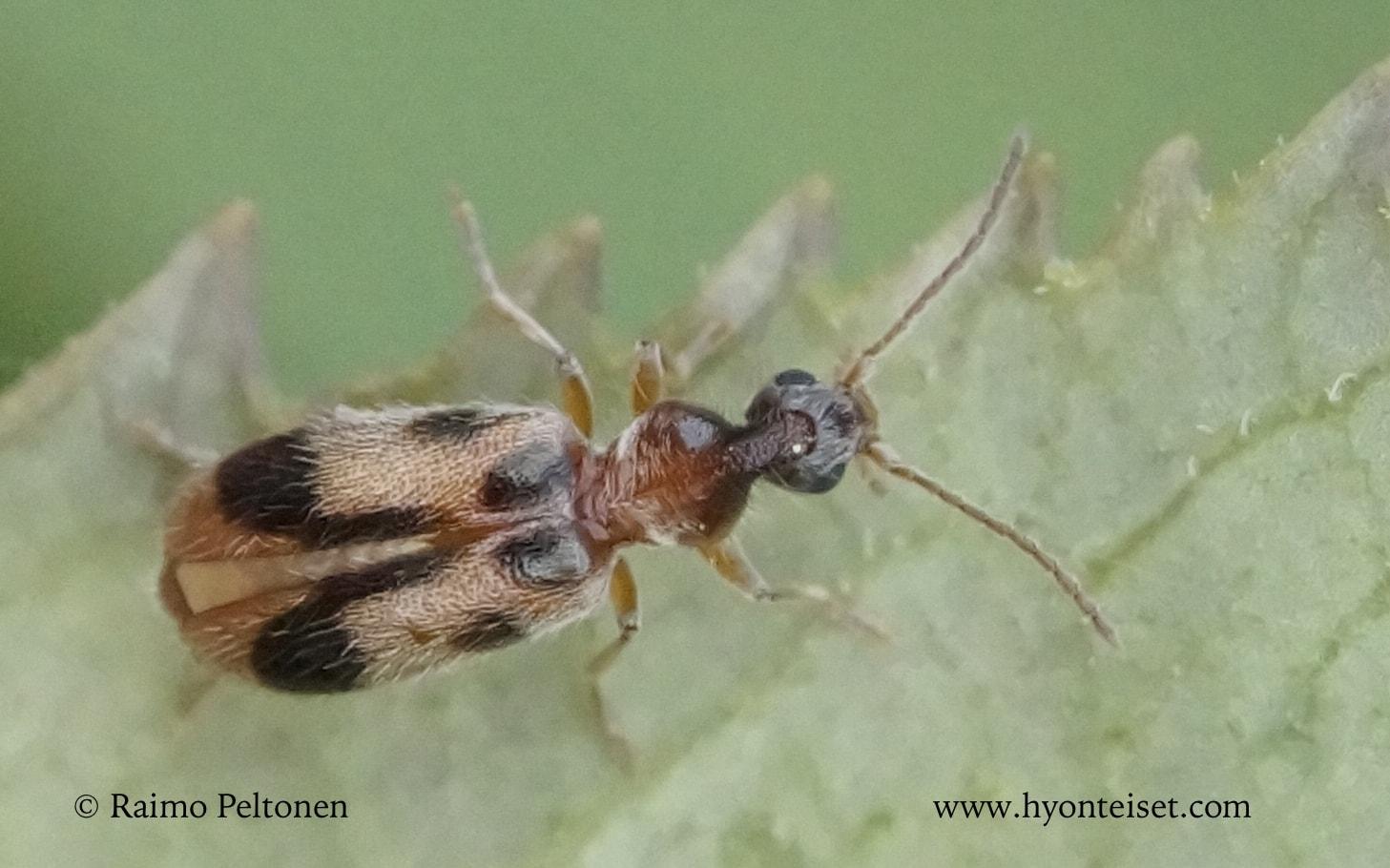 Notoxus monoceros-sarviantikainen