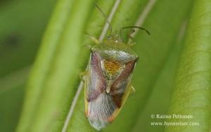 Elasmostethus interstinctus 1